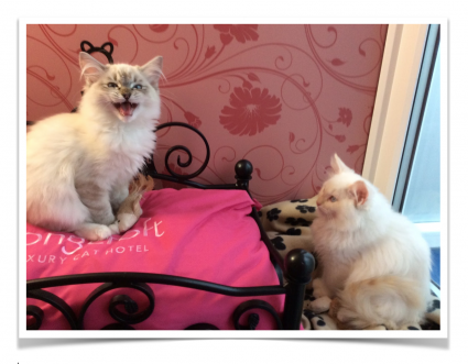 Mr Bentleys Blog | Kittens at Longcroft Luxury Cat Hotel