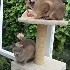 Our 3 Tonkinese Longcroft Luxury Cat Hotel Pamber Heath Hampshire